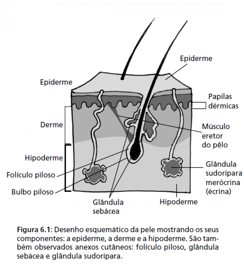 Composição da Epiderme, Derme e Hipoderme