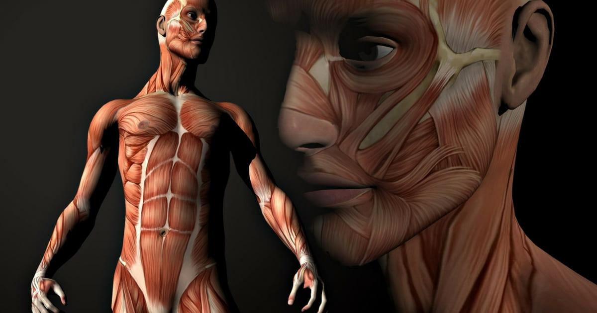 Anatomia dos Músculos - Membro Superior