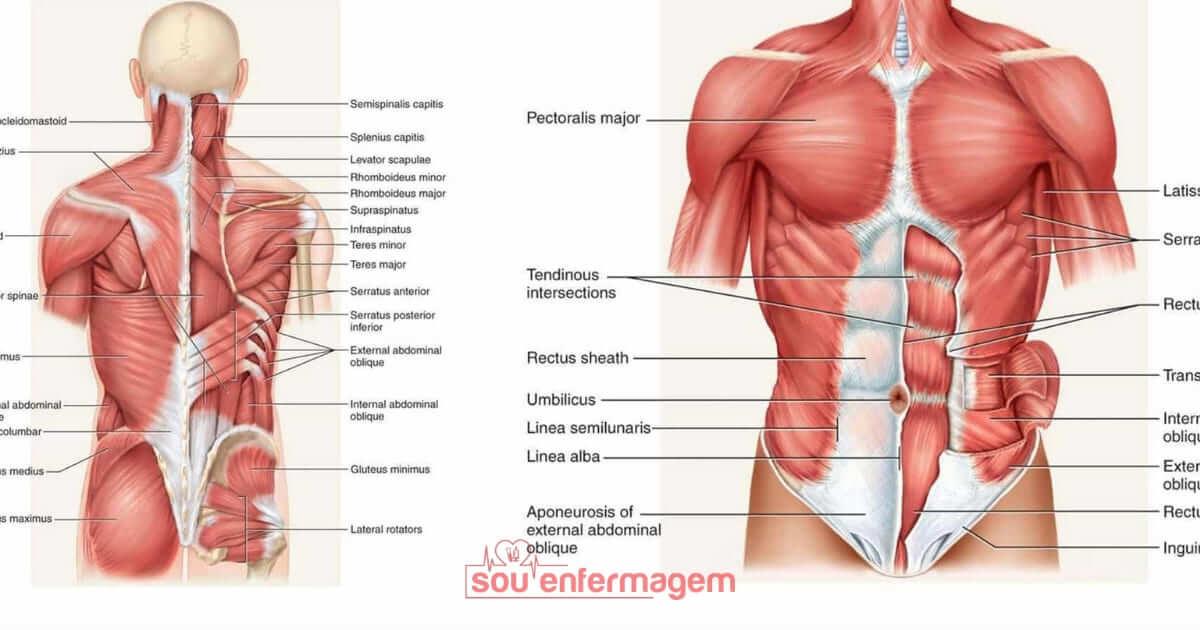 Anatomia Sistema Muscular