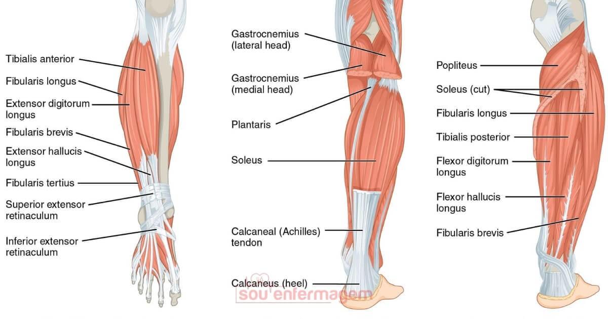 Anatomia - Músculos da Perna