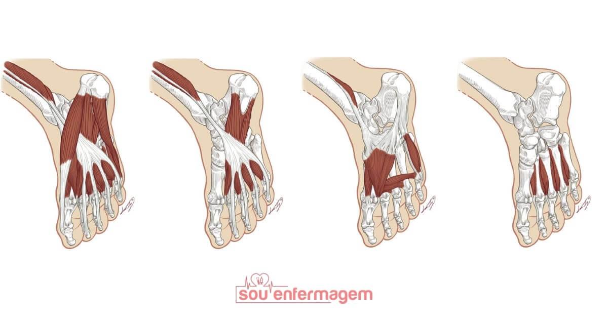 Anatomia - Músculos do Pé
